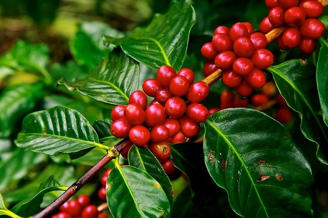 Coffee Beans Ripe Agriculture Plant  - 272447 / Pixabay